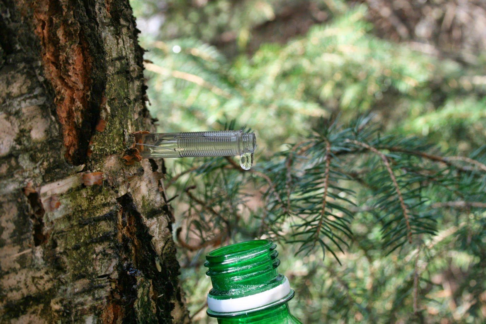 Birch gözyaşları ya da huş ağacı saplarını nasıl toplayacak 91