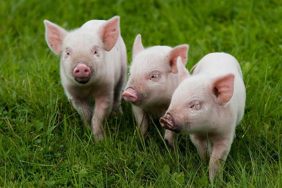 Через сколько можно резать свинью после гуляния